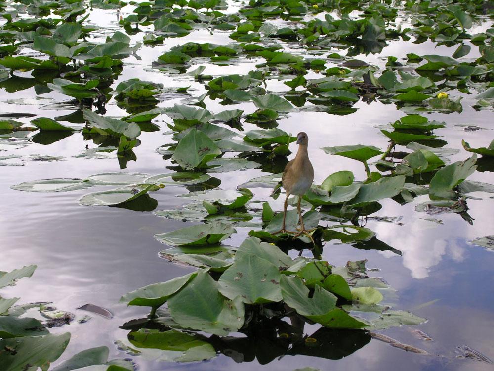 2006 Symposium History Florida - International Waterlily