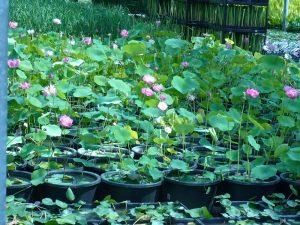2008 Virginia_lotus pots