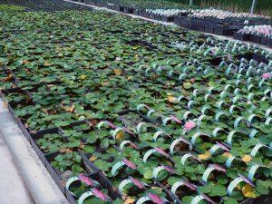 2008 Virginia_more waterlilies for sale