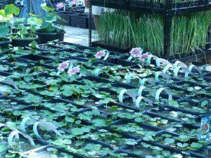 2008 Virginia_waterlilies for sale