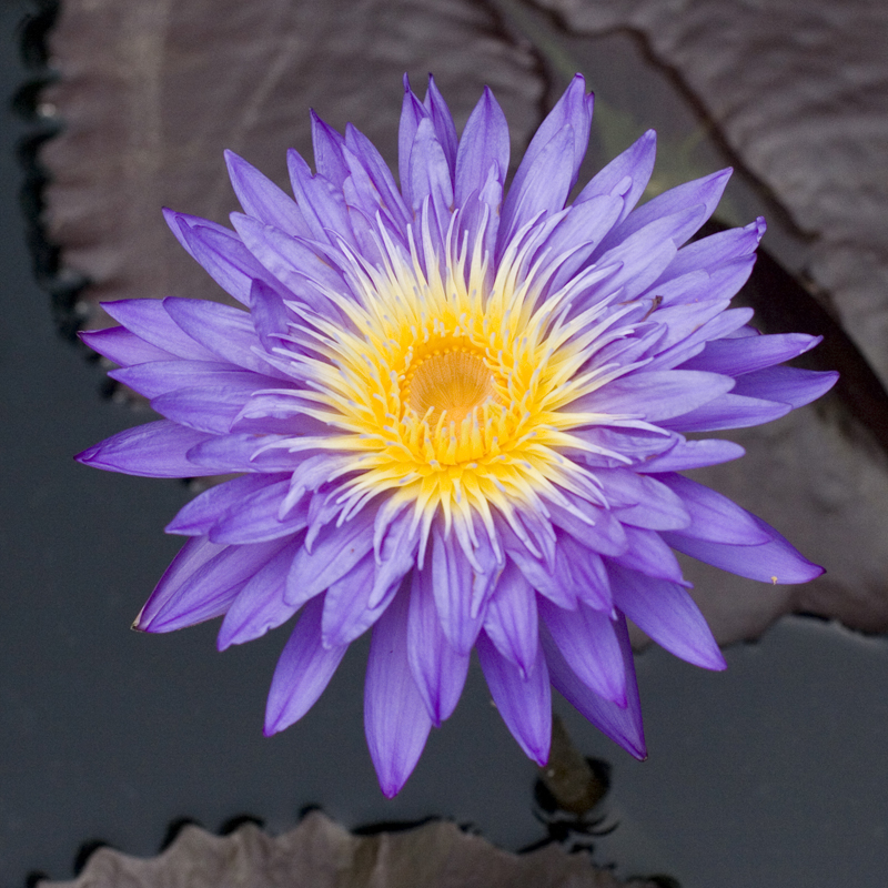 Nymphaea 'Ultra Violet'