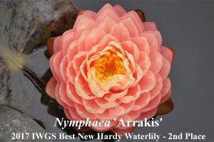 Nymphaea Arrakis