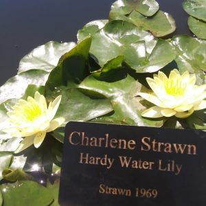 Nymphaea 'Charlene Strawn': Photo credit Powell Gardens