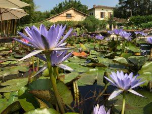 Latour purple lilies closeup