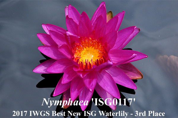 Nymphaea ISG-0117