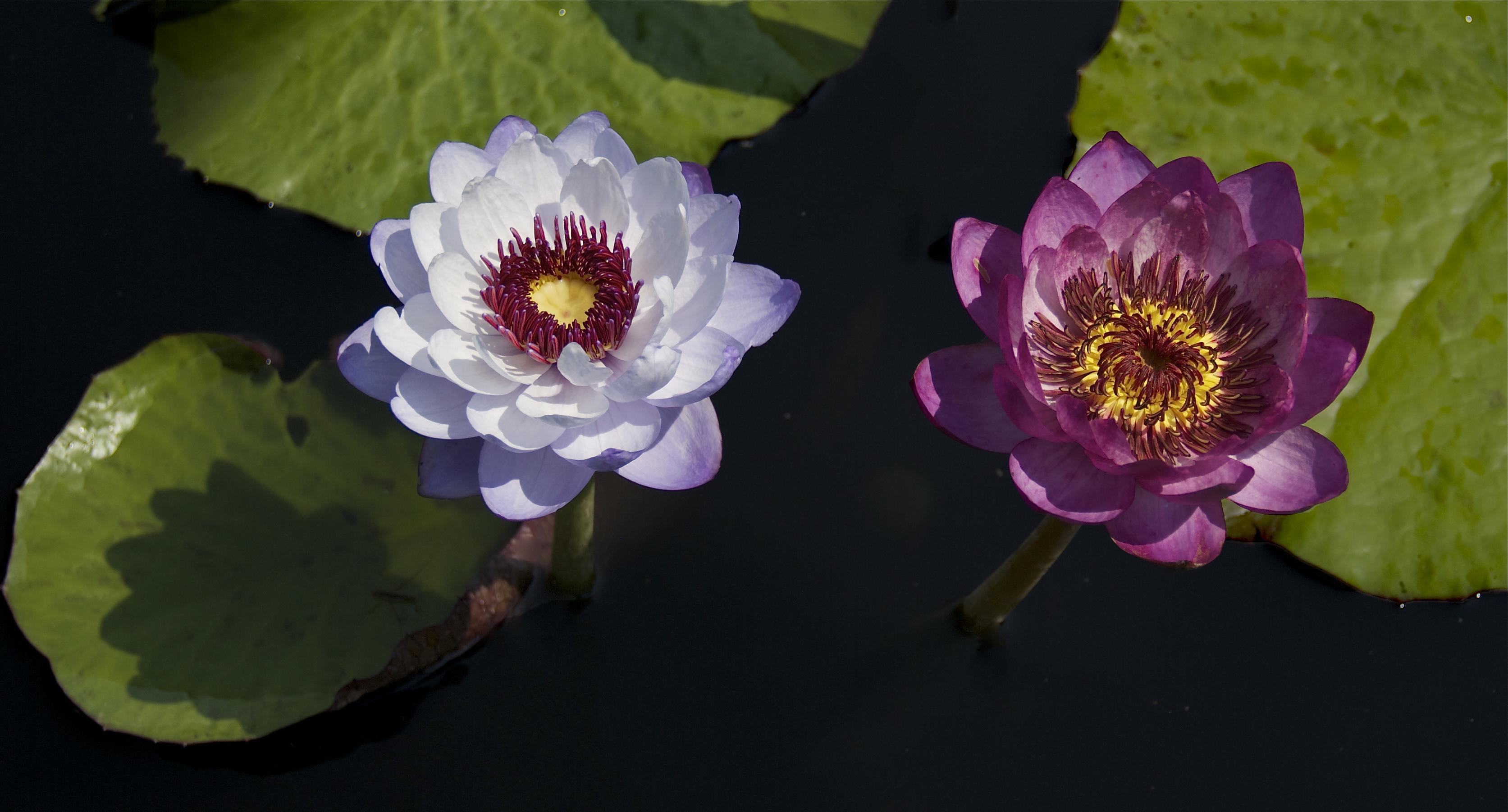Nymphaea 'Srichon'