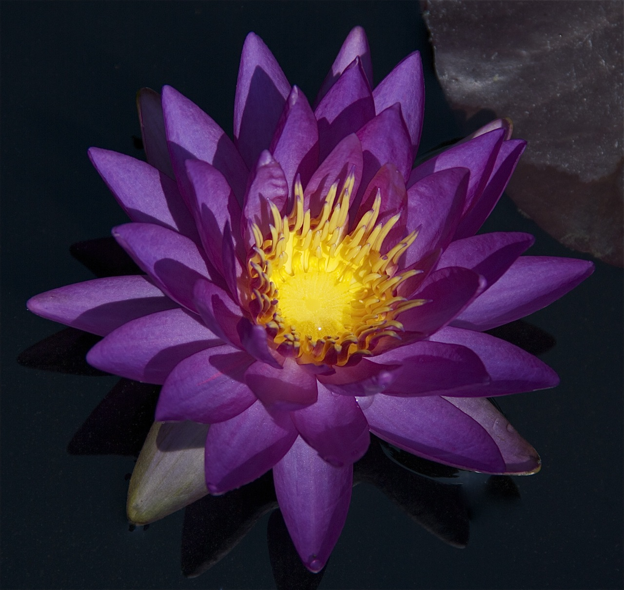 Nymphaea 'ISG5A'
