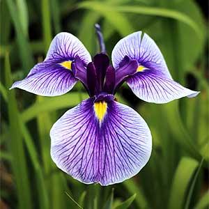 Iris ensata hybrid
