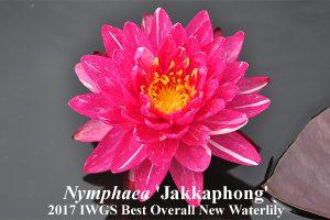 Nymphaea Jakkaphong