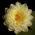 Nymphaea 'Lemon Meringue'