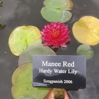 Nymphaea 'Manee Red'