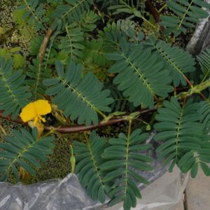 Aeschynomene fluitans (Sensitive Plant)