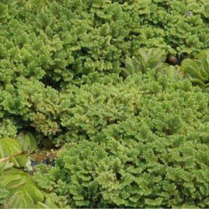 Azolla caroliniana (Fairy Moss)