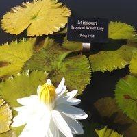 Nymphaea 'Missouri': Photo credit Powell Gardens