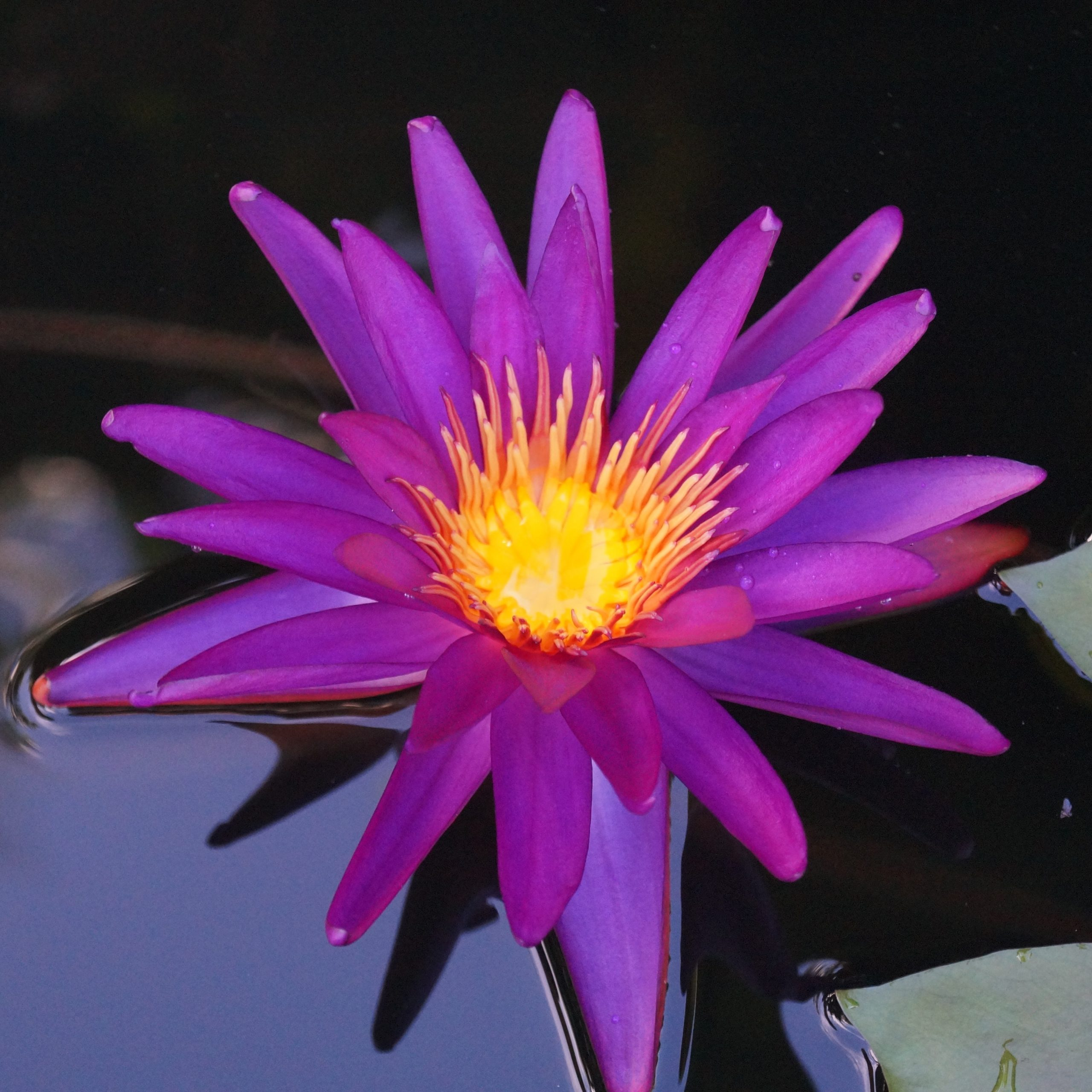 Nymphaea 'Dark Valia'