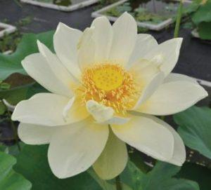 Nelumbo 'Chenshan Baihe'