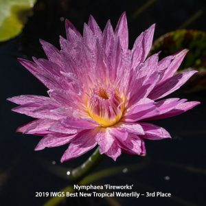 Nymphaea 'Fireworks'Tropical