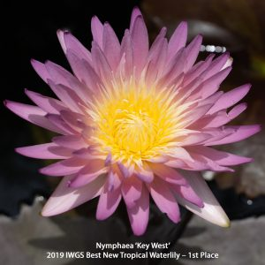 Nymphaea 'Key West' Tropical 1st place