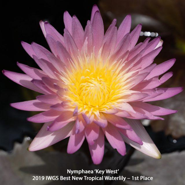Nymphaea 'Key West' Tropical 1st place