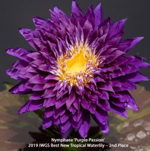 Nymphaea 'Purple Passion' Tropical