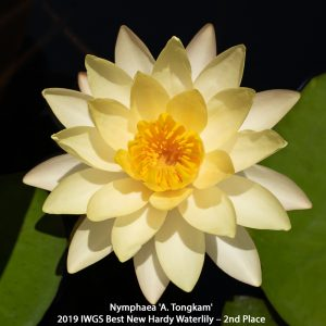 Nymphaea 'A. Tongkam'