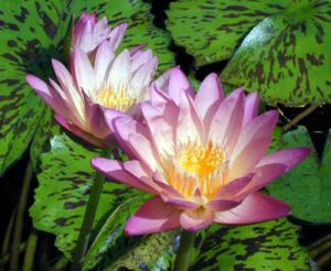Nymphaea 'Albert Greenberg'