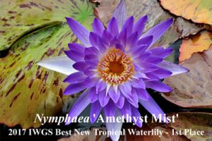 Nymphaea 'Amethyst Mist'