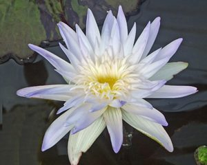 Nymphaea 'Avalanche'