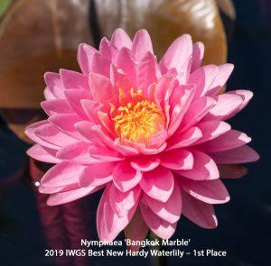 Nymphaea 'Bangkok Marble'