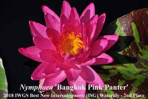 Nymphaea 'Bangkok Pink Pante' (2nd Place 2018 IWGS Best New ISG Waterlily)