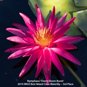 Nymphaea 'Cherry Boom Boom' Mixed 3rd