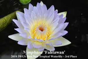 Nymphaea 'Fahtawan' (3rd Place 2018 IWGS Best New Tropical Waterlily)