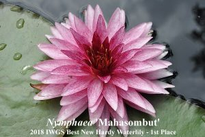 Nymphaea 'Mahasombut' (1st Place 2018 IWGS Best New Hardy Waterlily)