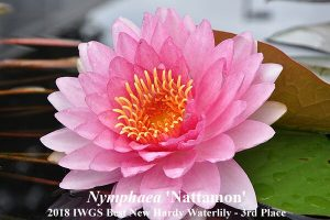 Nymphaea 'Nattamon' (3rd Place 2018 IWGS Best New Hardy Waterlily)