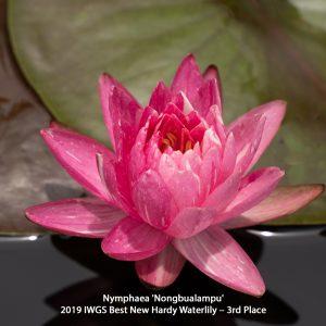 Nymphaea 'Nongbualampu' 2 Hardy 3rd