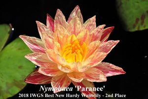 Nymphaea 'Paranee' (2nd Place 2018 Best New Waterlily)Nymphaea 'Paranee' (2nd Place 2018 IWGS Best New Waterlily)