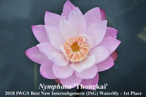 Nymphaea'Thongkai' (1st Place 2018 IWGS Best New ISG Waterlily )