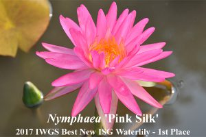 Nymphaea 'Pink Silk'