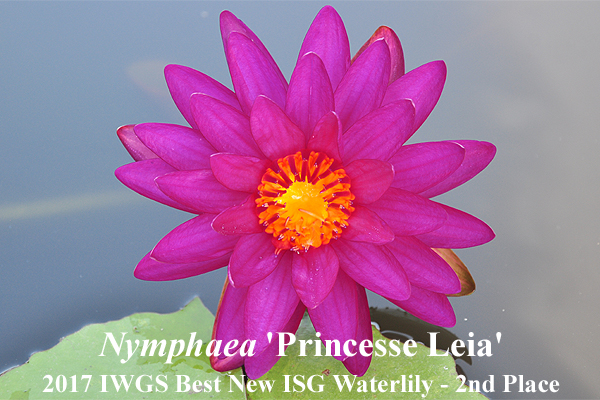 Nymphaea 'Princess Leia'