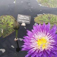 Nymphaea 'Plum Crazy': Photo credit Powell Gardens