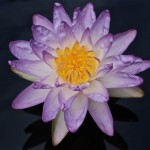 Nymphaea 'Siam Purple'