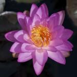 Nymphaea 'Siam Purple 2'