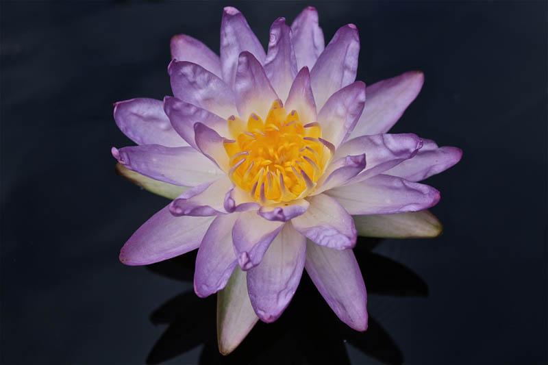 Nymphaea 'Siam Purple'