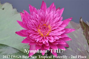 Nymphaea 'T0117'