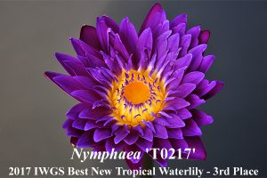 Nymphaea 'T0217'