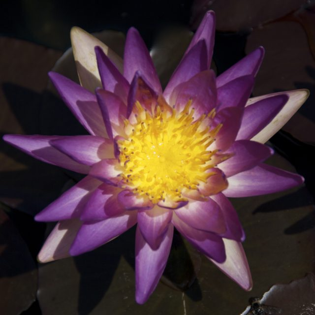 Nymphaea 'Unnamed' Mike Giles ISG