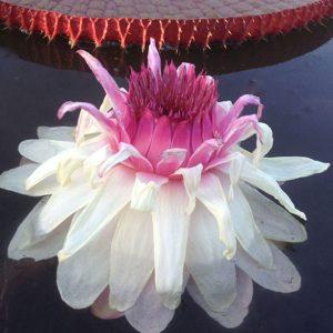Vic flower 2nd night