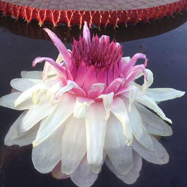Victoria flower 2nd night