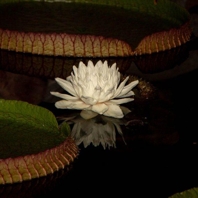 Victoria Cruziana Blooming at Hudson Gardens