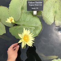 Nymphaea 'Yellow Dazzler' Tropical waterlily